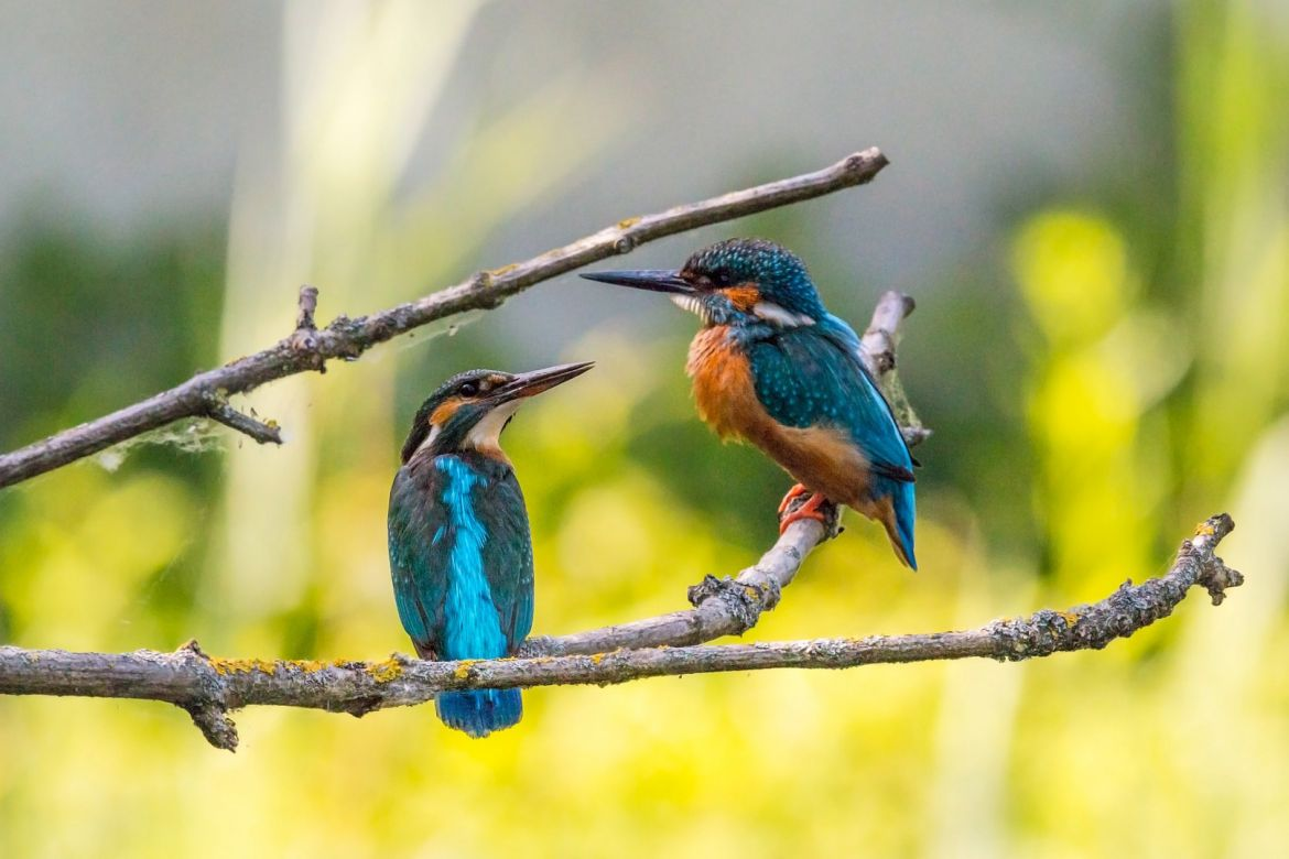kingfisher-2363887_1920.jpg